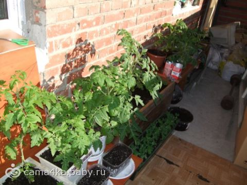 Готовимся к посадке… (огород на балконе)